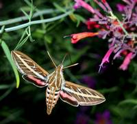 Hummingbird Moth 1