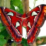 """2014 KW - Red Promethea Moth"" by scubagirlamy"