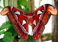 2014 KW - Red Promethea Moth