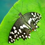 """BFP 2014 - Black and White Spotted Butterfly"" by scubagirlamy"