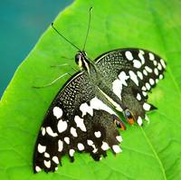 BFP 2014 - Black and White Spotted Butterfly