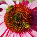 """Flower - Two Bees and Rainbow Echinacea Macro"" by scubagirlamy"