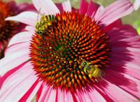 Flower - Two Bees and Rainbow Echinacea Macro