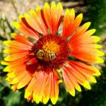 """Flower - Orange Yellow and Red Flower and Bee Macr"" by scubagirlamy"