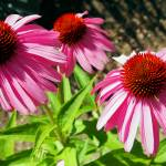 """Flower - Pink and Purple Echinacea Cone Flower Mac"" by scubagirlamy"