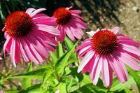 Flower - Pink and Purple Echinacea Cone Flower Mac