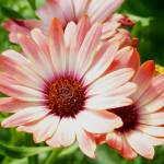 """Flower - Pink Tradewind Cinnamon Flowers - Macro"" by scubagirlamy"