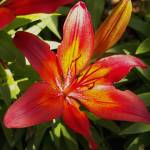 """Flower - Red Glowing Lilly with Orange Highlights"" by scubagirlamy"
