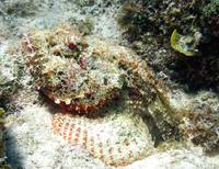 2014 GC - Scorpion Fish