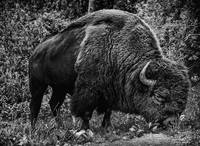 Buffalo: King of the Plains
