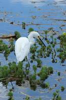 Snowy Egret Searching for Food