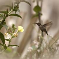 hummingbird0622 Art Prints & Posters by Bonnie Bruno