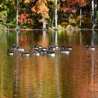 Foliage reflected onto pond with Canada geese Art Prints & Posters by Sam Lee