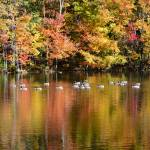 """Foliage reflected onto pond with Canada geese"" by Infomages"