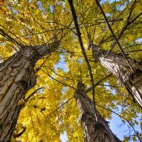 Golden Maple Standing Tall Art Prints & Posters by James