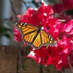 """Monarch Butterfly"" by GlendinePhotography"
