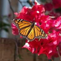 Monarch Butterfly Art Prints & Posters by Glendine Prints