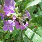 """Bumblebee on a phlox flower"" by MariaK"