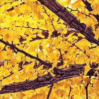 Up Through The Yellow Tree Art Prints & Posters by Through The Split Window