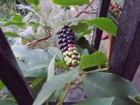 Pokeweed Berries