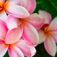 Pink Plumeria Flower Art Prints & Posters by Maji pineapple