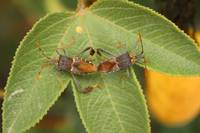 Two Leaf Footed Bugs on a Leaf