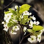 """Plumb Blossoms"" by WandaFitzgerald"