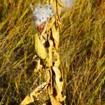 """""""Milkweed in Autumn"""" by robertmeyerslussier"""
