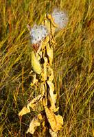 Milkweed in Autumn