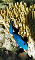 Blue Triggerfish in Front of Corals