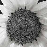 Sunflower (Warmtone)