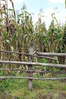 Wood Rail Fence and Corn Field