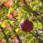 """Autumn Apple"" by vpicks"