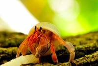 Maldives Tree Hermit Crab