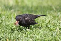 The lunch of the blackbird