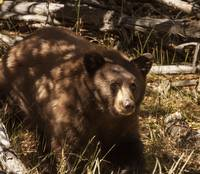 Taylor Creek Bear