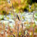 """Autumn Grasses"" by robertmeyerslussier"