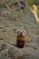 Baby fur seal in Cape Palliser