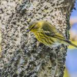 """Cape May Warbler"" by WildAboutNaturePhotography"