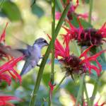 """Hummingbird On The Jacob Cline Bee Balm"" by vpicks"