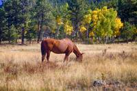 Autumn High Country Horse Grazing