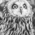 """""""Short-eared Owl"""" by WildAboutNaturePhotography"""