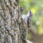 """Brown Creeper"" by WildAboutNaturePhotography"
