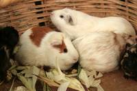Guinea Pigs in a Basket