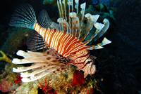 Hovering Lionfish