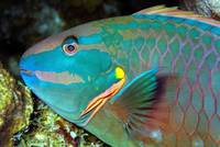 Parrotfish Sleeping