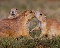 Prairie Dog Kiss