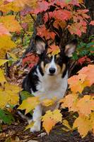 Corgi and Fall Colors