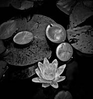 Pond Lily And Pads
