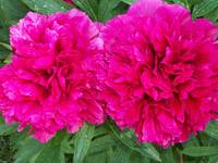 Grandmother's Peonies: The Couple